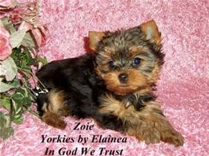 Yorkie Poo Full Grown Size Yorkies By