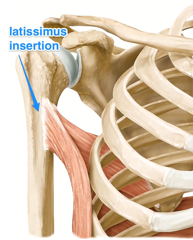 Bildresultat för latissimus dorsi | мышцы | Pinterest | Anatomy ...