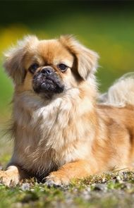 Tibetan Spaniel Dog Breed Information Pictures Characteristics