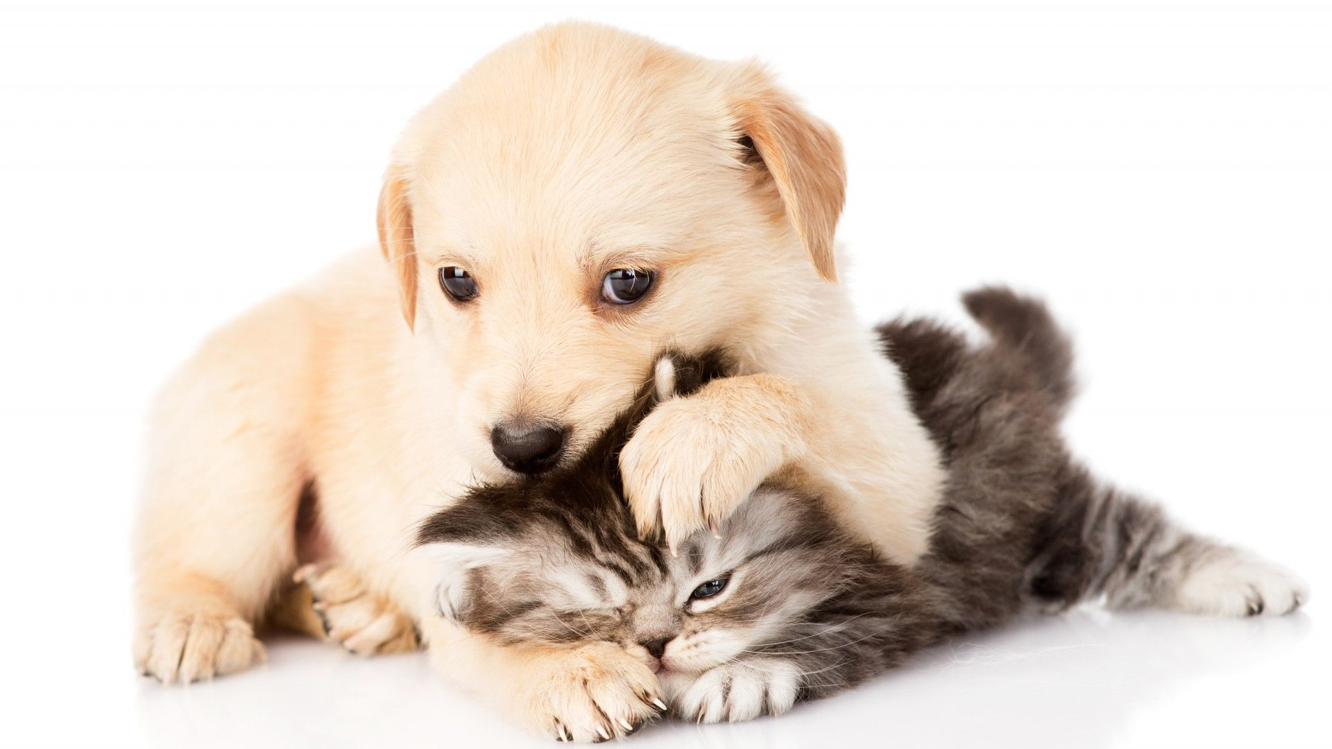Kitten And Puppy Wallpaper Free Kittens And Puppies Puppy Wallpaper Golden Retriever
