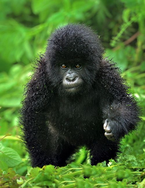 Pin By Cindy Bugg On Wild With Images Baby Gorillas Mountain