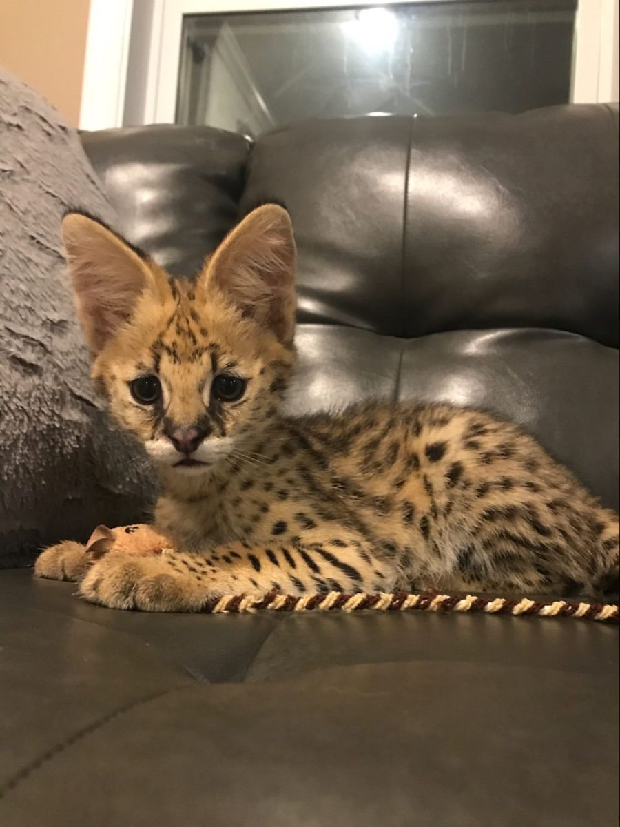 Serval Kitten In 2020 Savannah Kitten Cat Breeder Serval Kitten