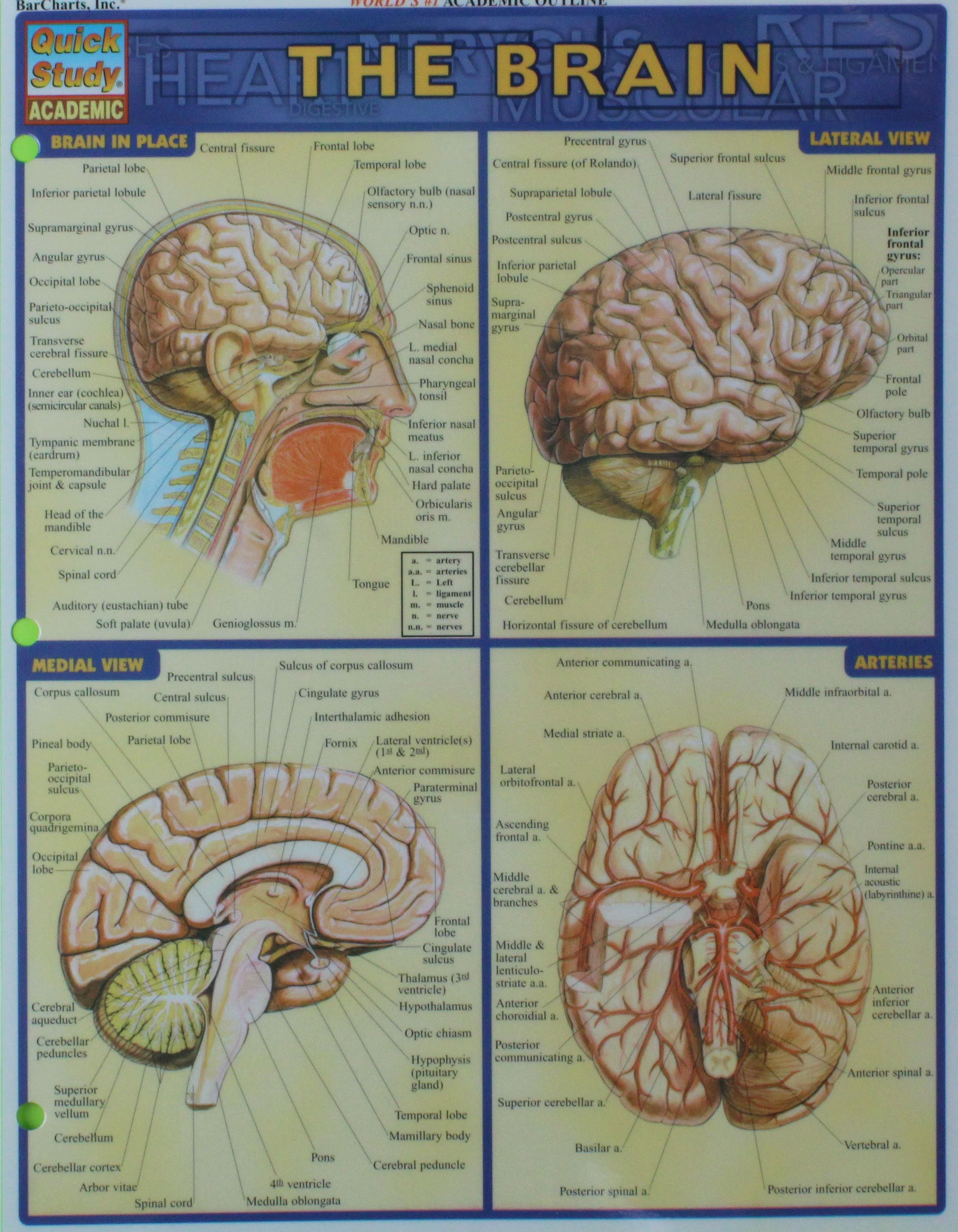 The Brain study aid. Commonly used for BIOL 355 at Central ...