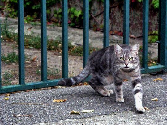 France : Cat from Cucugnan