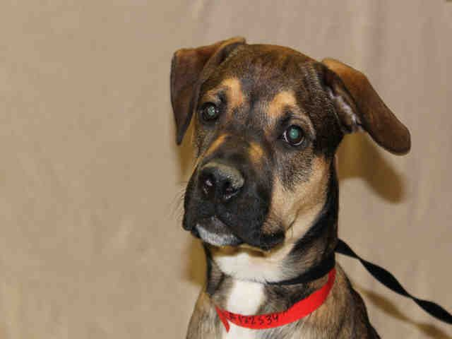 Chicago Ridge Il Tip Id A122534 Male Mastiff And Rottweiler Mix 8 Months Contact The Animal Welfare League Of Illinoi Animals Animal Welfare League Pets