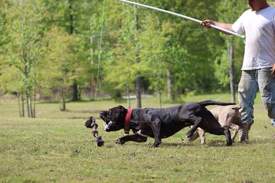 How To Build A Flirt Pole For Dogs Exercise Equipment Pitbull