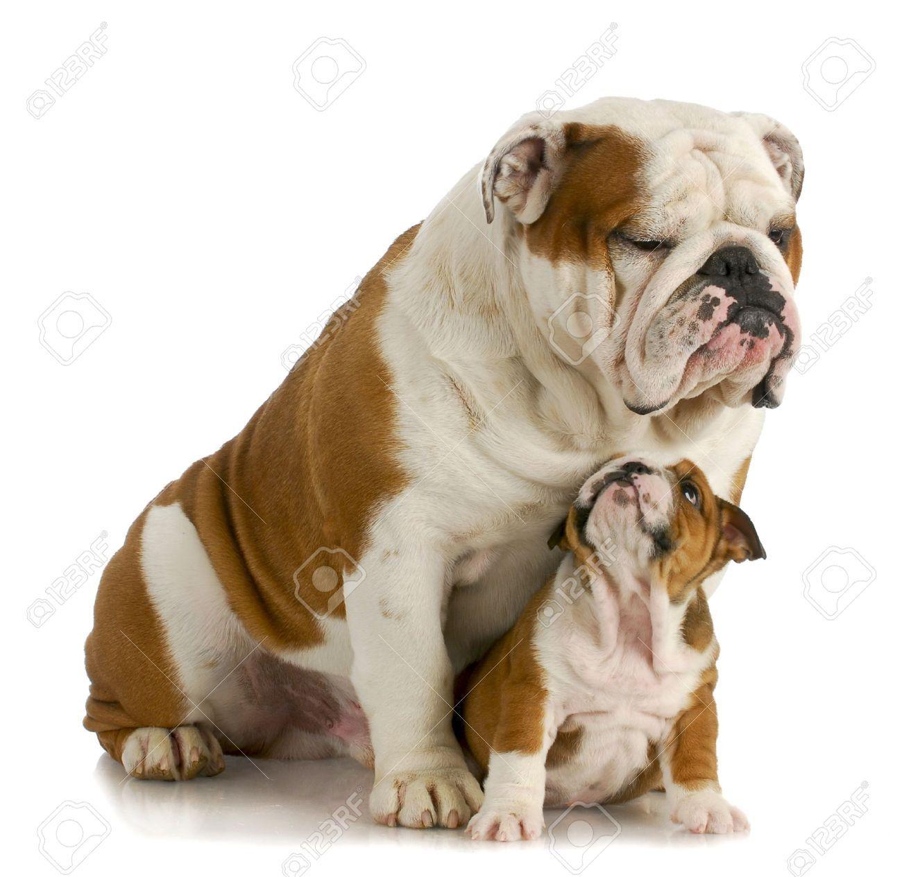 Stock Photo Bulldog Breeds Bulldog Puppies British Bulldog