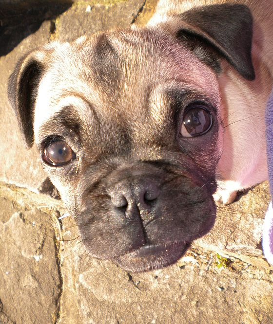Tibetan Pug Tibetan Spaniel Cross Pug Pug Pooch Without The