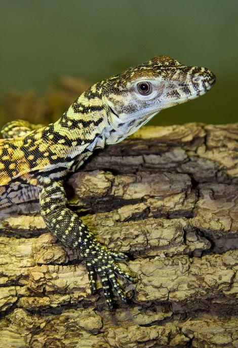 Baby Komodo Dragons | Flickr - Photo Sharing! |Cute Baby Komodo Dragons