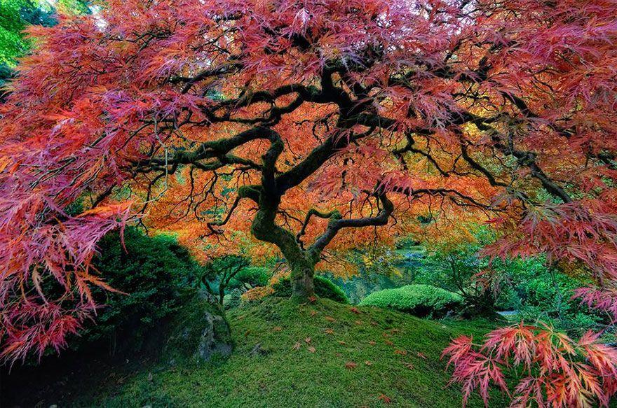 Les Plus Beaux Arbres Du Monde Arbres Erable Du Japon
