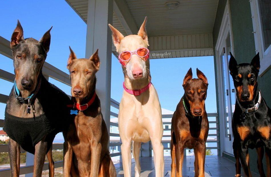 Help Training My Dog Dogtraining101 Doberman Pinscher Dog Dogs