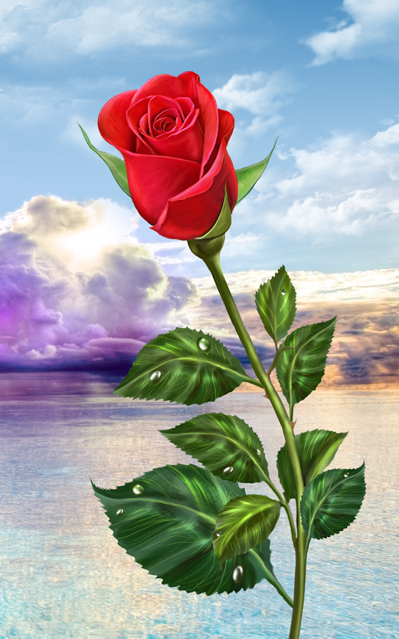 Rose Magic Touch Flowers Beautiful Rose Flowers Beautiful Roses Red Roses Wallpaper