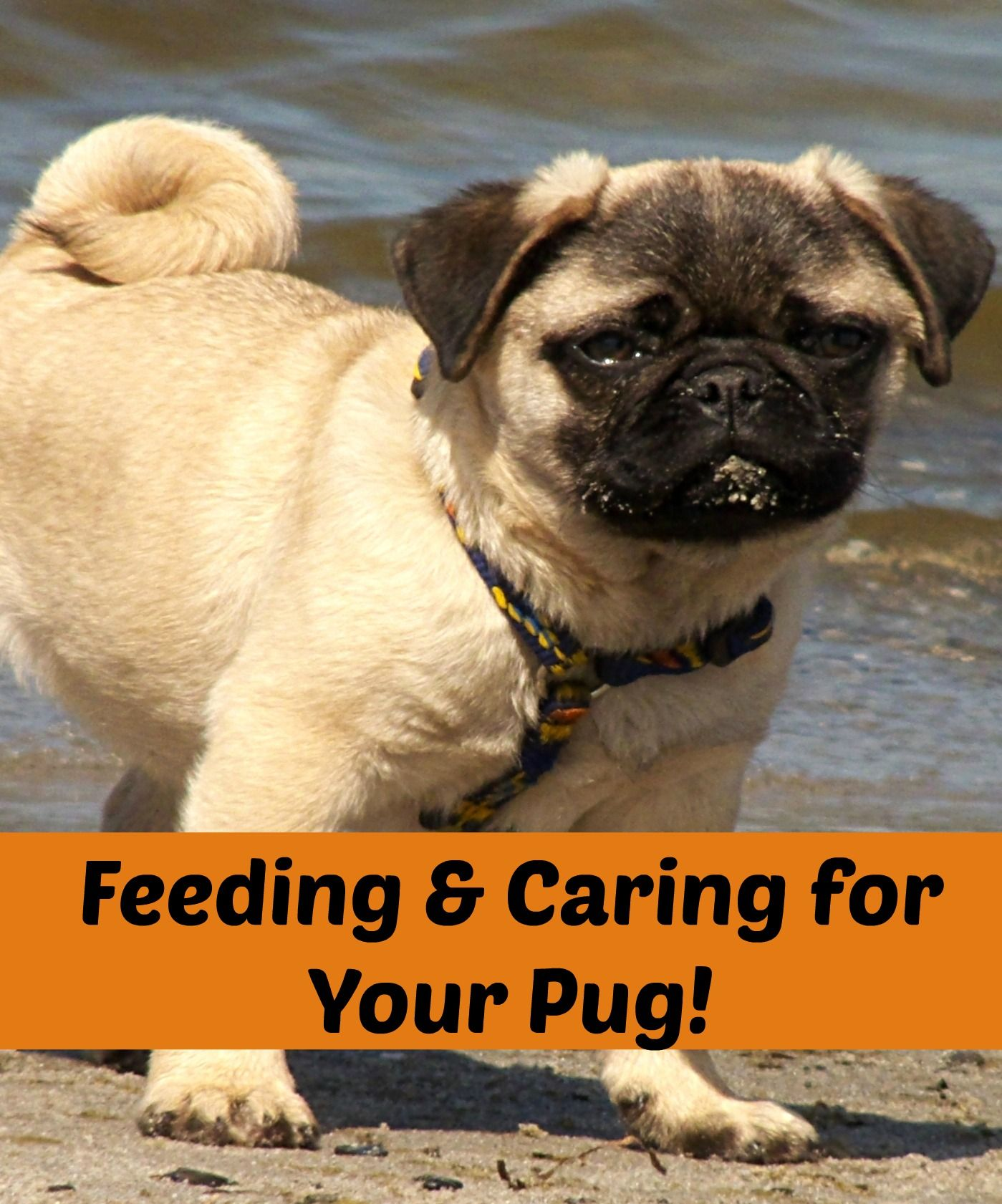 Feeding Guide For Pugs Diet And Nutritional Needs Hug A Pug
