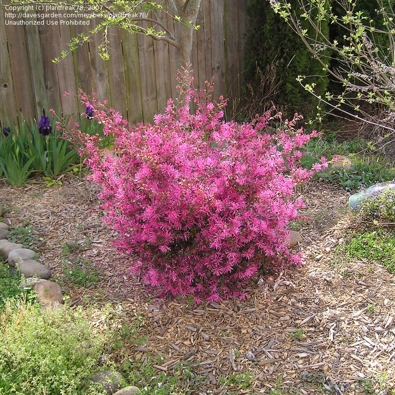 Full Size Picture Of Chinese Witch Hazel Chinese Fringe Flower
