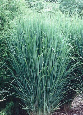Panicum virgatum 'Northwind'  | plant lust -   12 garden design Mediterranean grass ideas