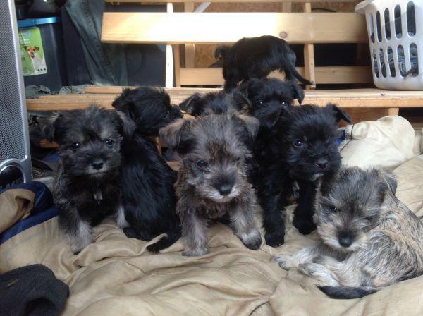 Miniature schnauzer puppies Miniature schnauzer puppies