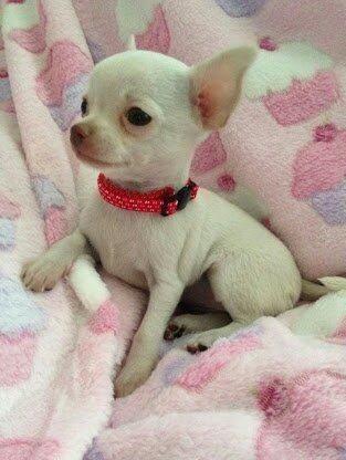 Chiuaua Branco Mini Pesquisa Google Cute Chihuahua Cute