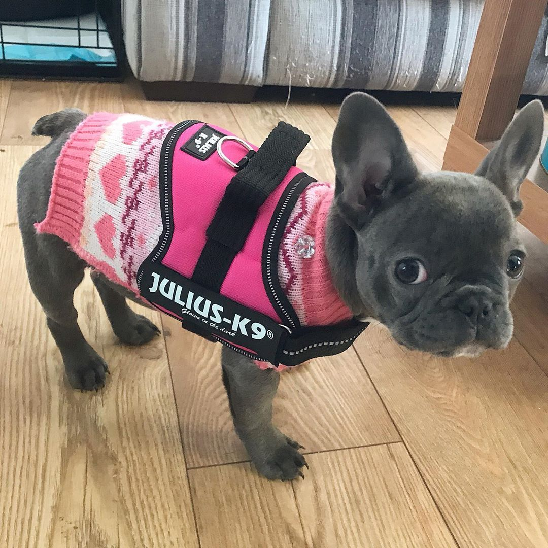 I finally fit into my julius_k9_uk harness . juliusk9