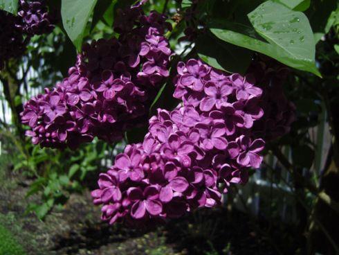 Lilac Woodland Wa