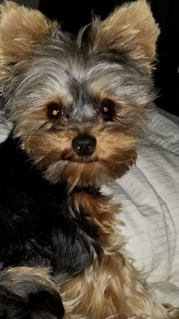 Pin By Halina Santander On My Cutelittleyorkie Teddy Bear Brandenburg Yorkie Golden Puppy Cutest Dog Ever