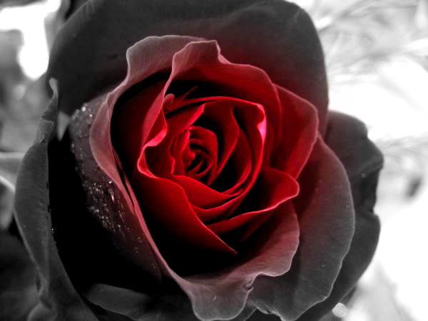 Black Rose Becomes Red By