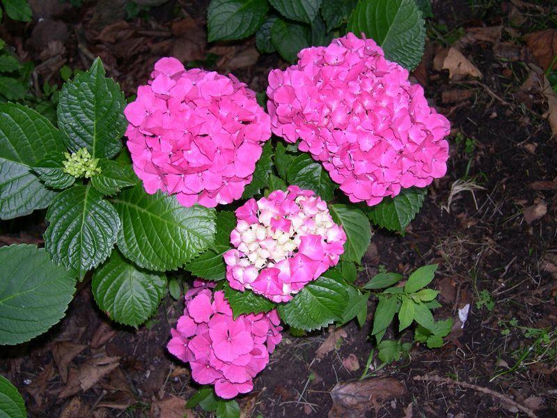 Hortensias amarillas buscar con google jardineria - Hortensias cuidados poda ...