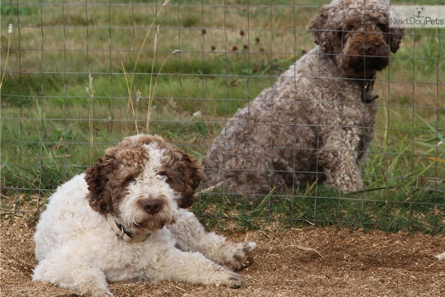 Puppies For Sale From Lagotto Romagnolo Of Canada L R C