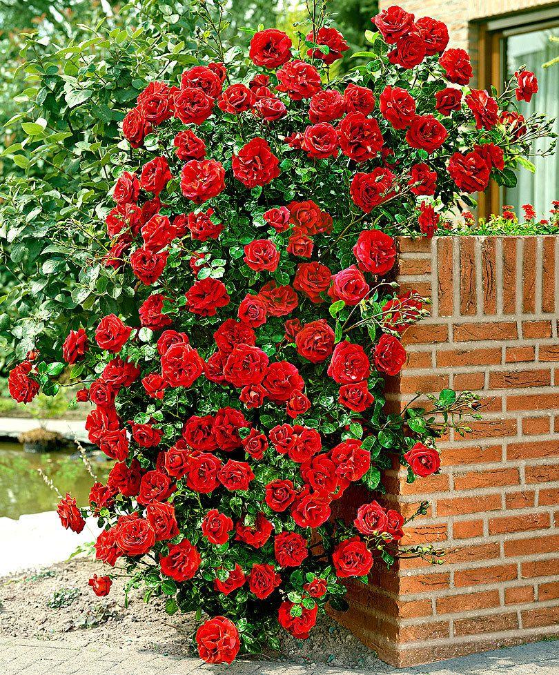 Rosa Rampicante In Vaso rosa rampicante 'santana'® (con immagini) | rose rampicanti
