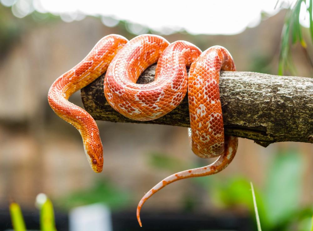 Qué Significa Soñar Con Serpientes Corn Snake Snake Symbolism Pet Snake