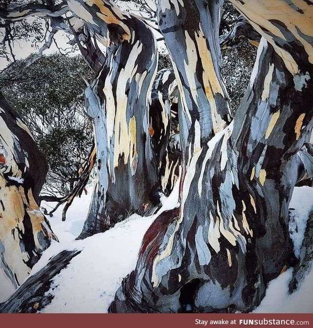 Bark of a Snow Gum tree looks like a painting in 2020