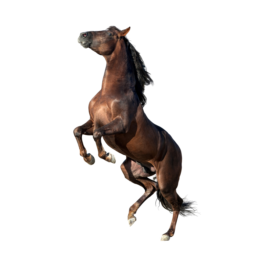 Brown Andalusian Horse Isolated On White Andalusian Horse Horses Black Horses