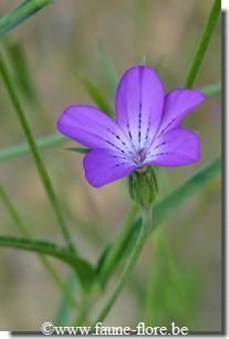 agrostemma_githago_fleur.jpg (207×307)
