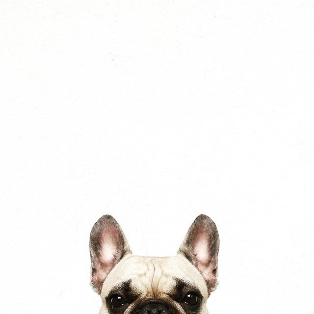 Bulldog Photo Print Dog Portrait Minimalist Background