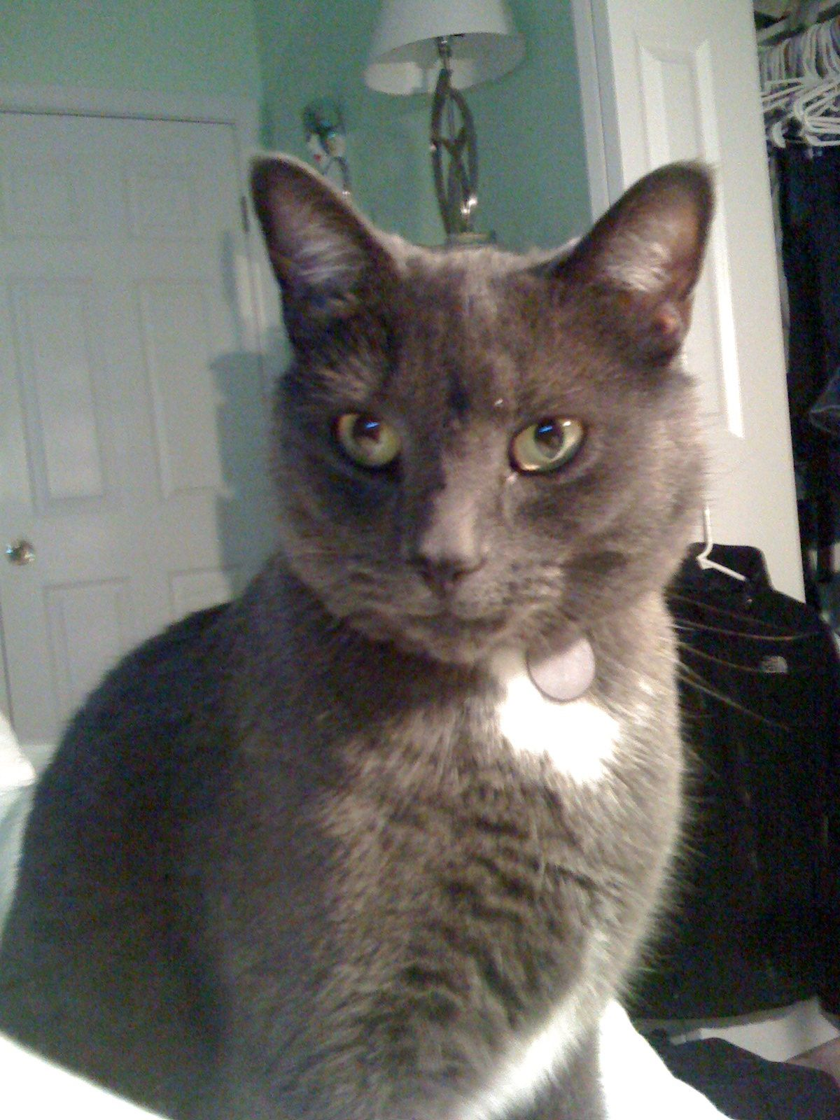 Lost Cat Male Coventry, CT, USA 06238 Lost cat, Cats