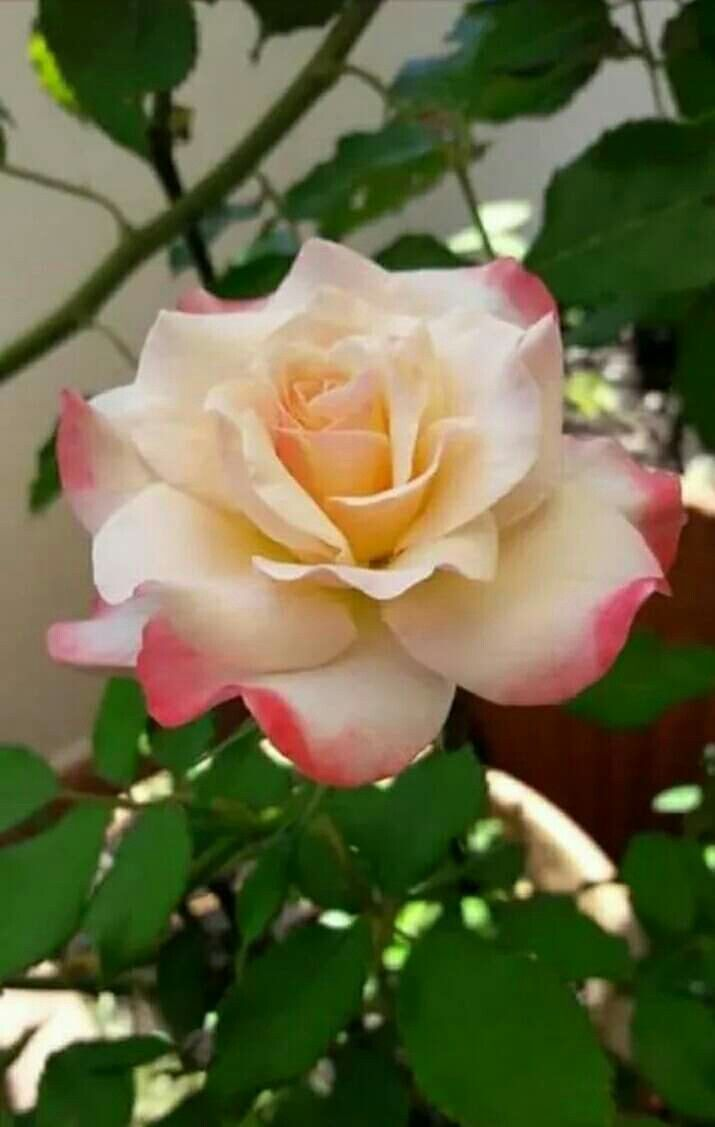 Pin By Cat Man Du On Flowers Rose Flower Pretty Flowers Beautiful Roses