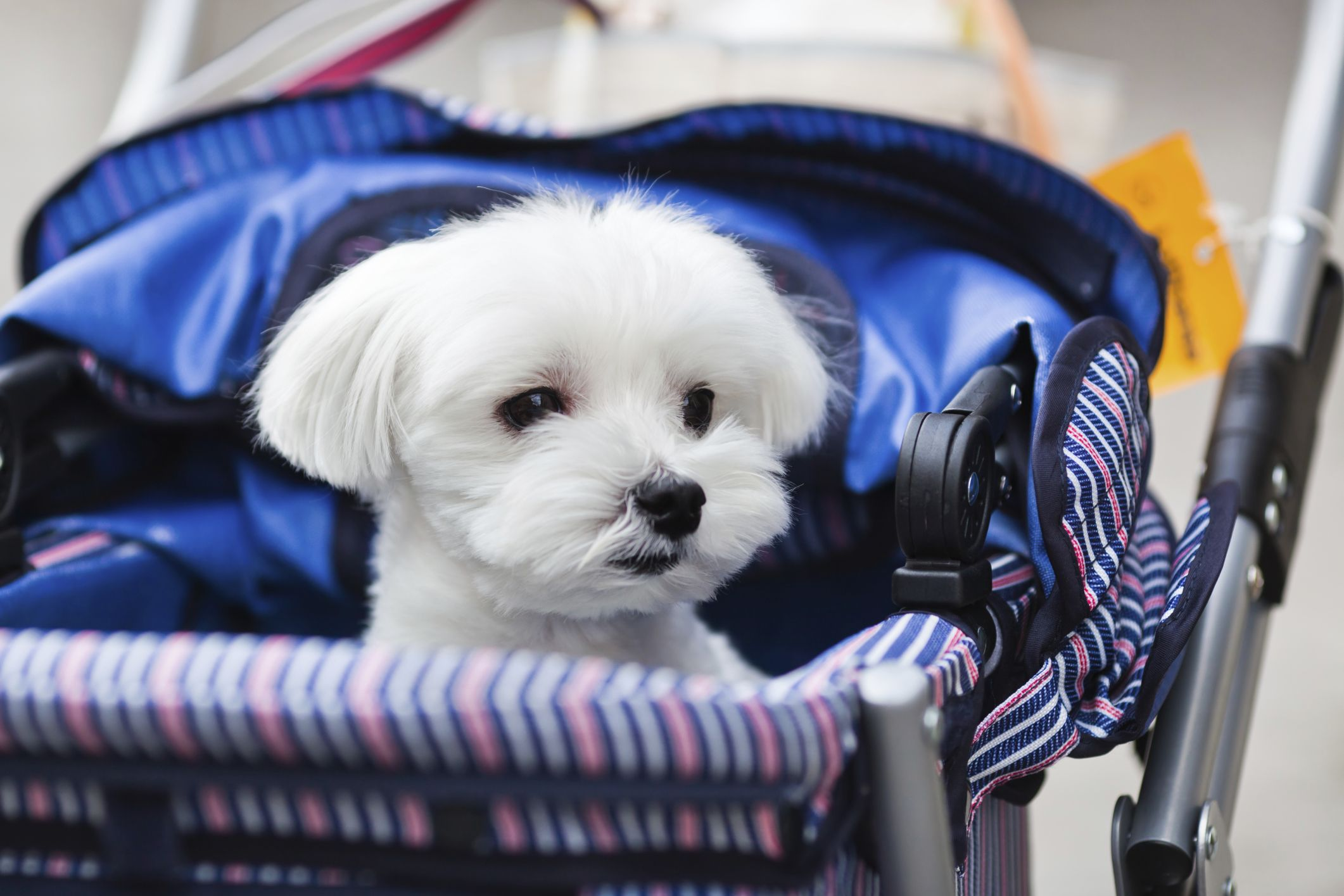How to Make a Pet Stroller Out of a Baby Stroller Dog