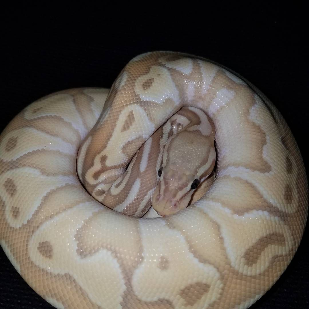 banana cinnamon lesser het g stripe also could be possible pastel ...