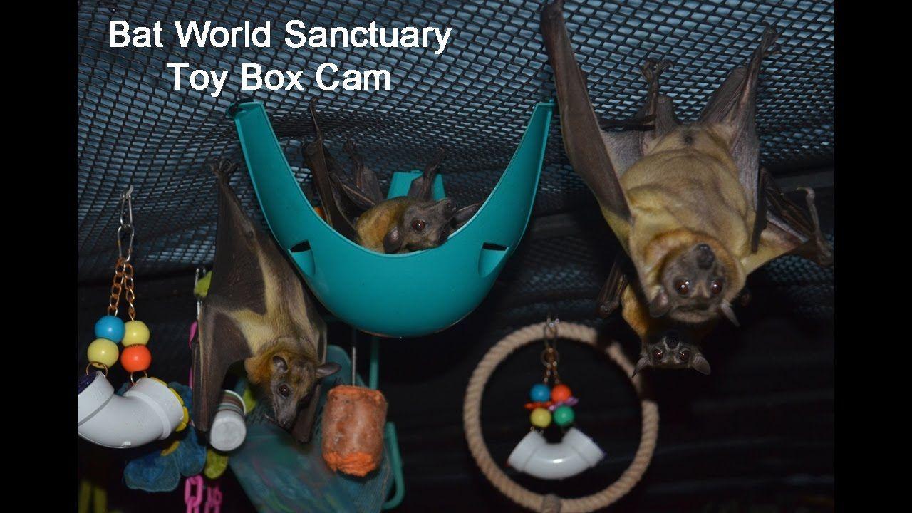 Bat World Sanctuary Live Stream - Fruit Bat's Toy Box & Roosting Cam