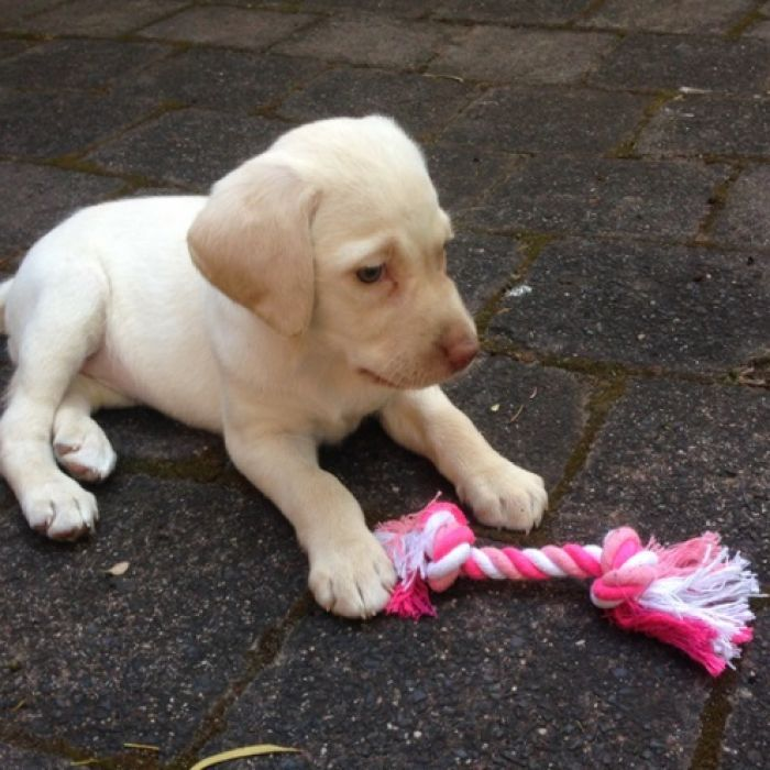Heartbroken Family Calls For Return Of Labrador Puppy Stolen During Burglary Labrador Puppy Labrador Puppy Training Labrador