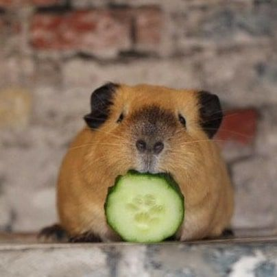 Pin on guinea pigs