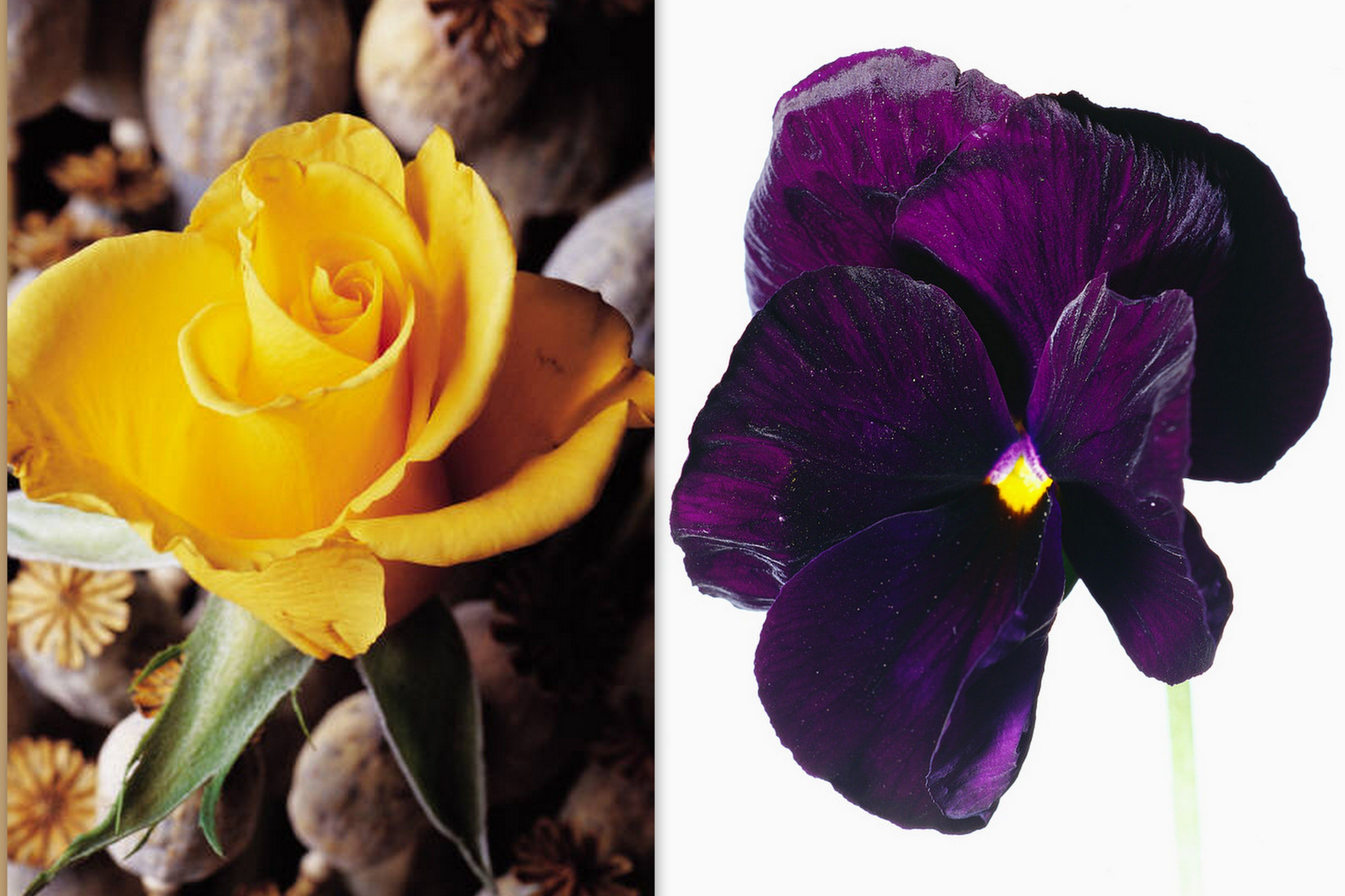 50th Anniversary Flowers Yellow Rose Violet Celebrates Virtue Humility And Faith Annigifts