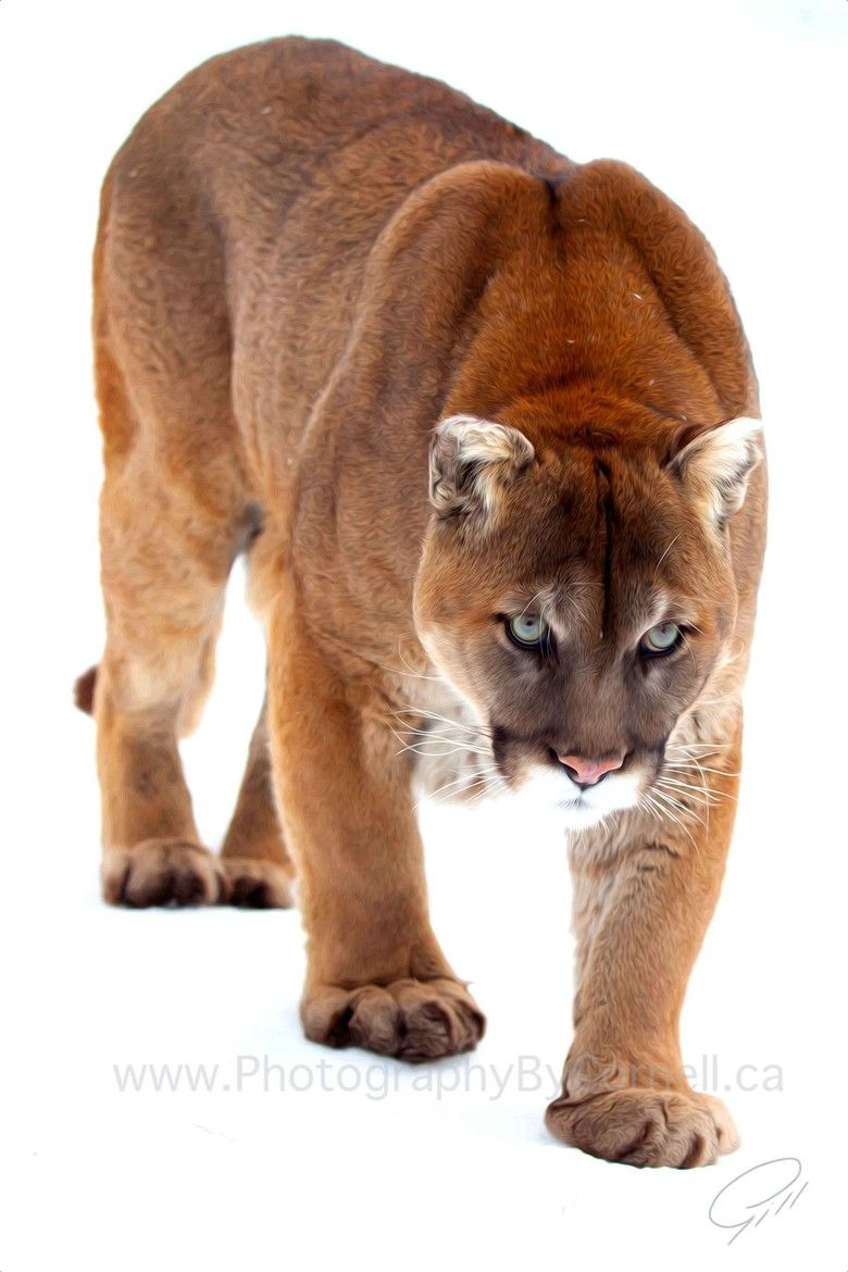 Mountain Lion-Mike wants one of these so bad...this pic ...