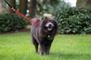 Smokey Urgent Is An Adoptable Chow Chow Dog In Seattle Wa Smokey