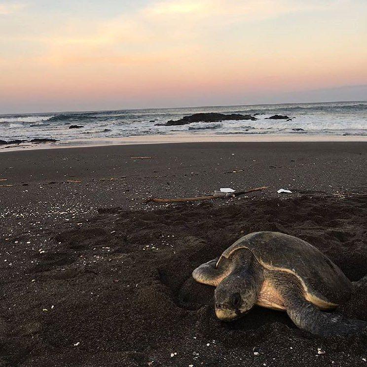 Turtle territory.  The Olive Ridley Sea #Turtle just after laying eggs on Junquillal #Beach on the Nicoya Peninsula via @cronache_viaggi! #CostaRicaExperts #CostaRica
