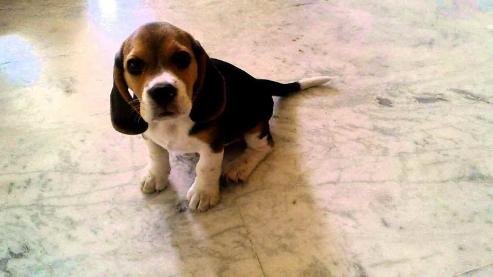 2 Month Old Beagle