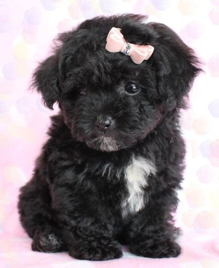 Too Cute Toy Poodle Puppies In South Florida It Has The Same