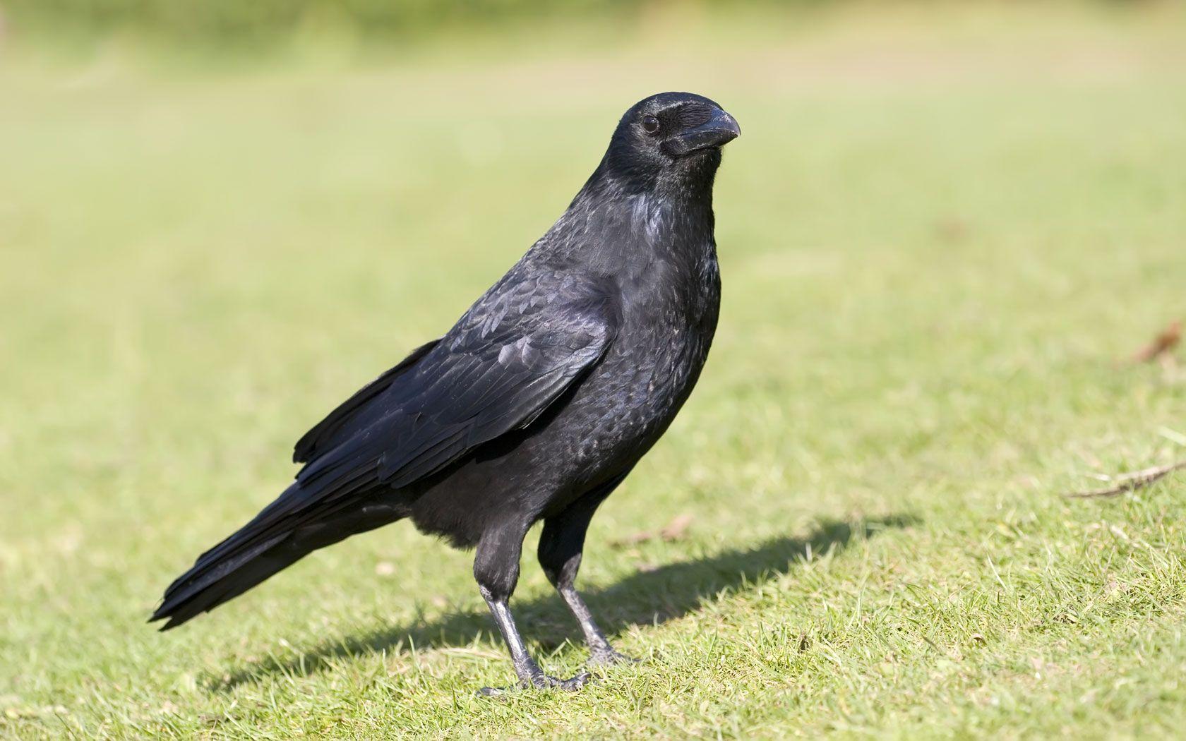 Black Crow Wallpaper Wallpaper