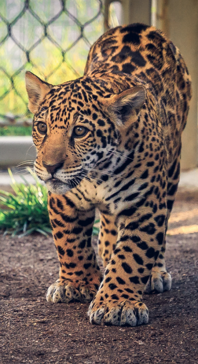 Young jaguar cub named Valerio on the prowl at the San Diego Zoo.