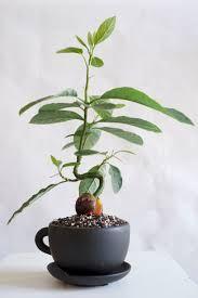 bildresultat f r avocado bonsai plants pinterest bonsai and plants. Black Bedroom Furniture Sets. Home Design Ideas