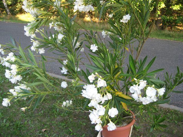 oleander vermehren garten deko pinterest oleander vermehren g rten und pflanzen. Black Bedroom Furniture Sets. Home Design Ideas